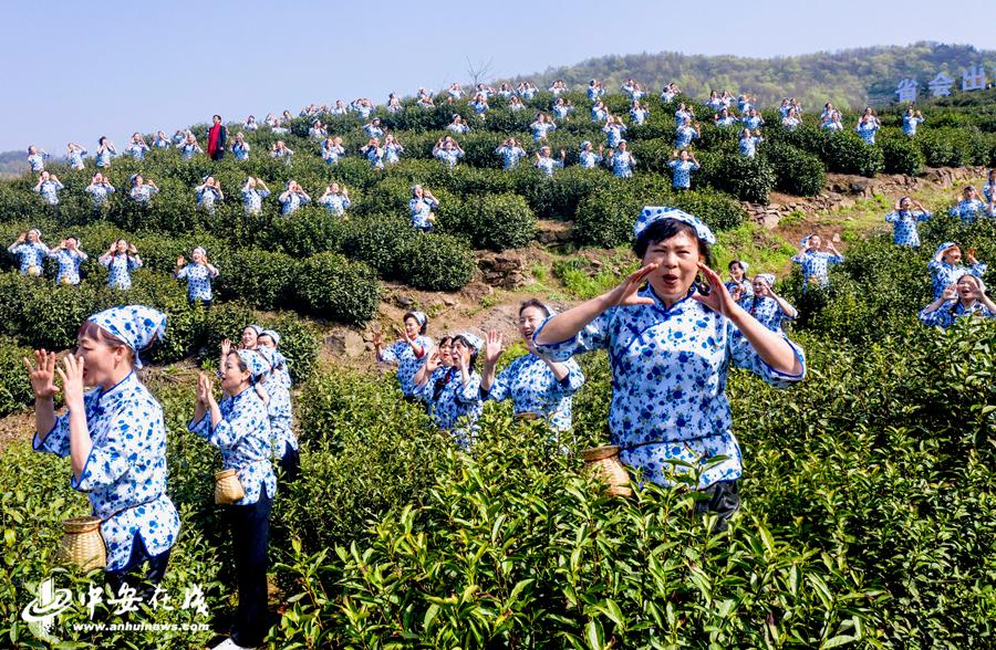 """庐江县柯坦镇分水村茶叶种植基地,茶农们依照传统仪式""""喊山""""开园、唱着茶歌采摘春茶。 (1).jpg"""