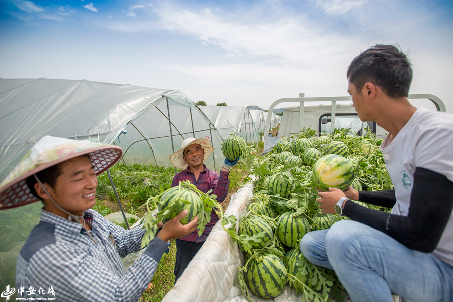 安徽肥东:西瓜丰收 产业富民【组图】