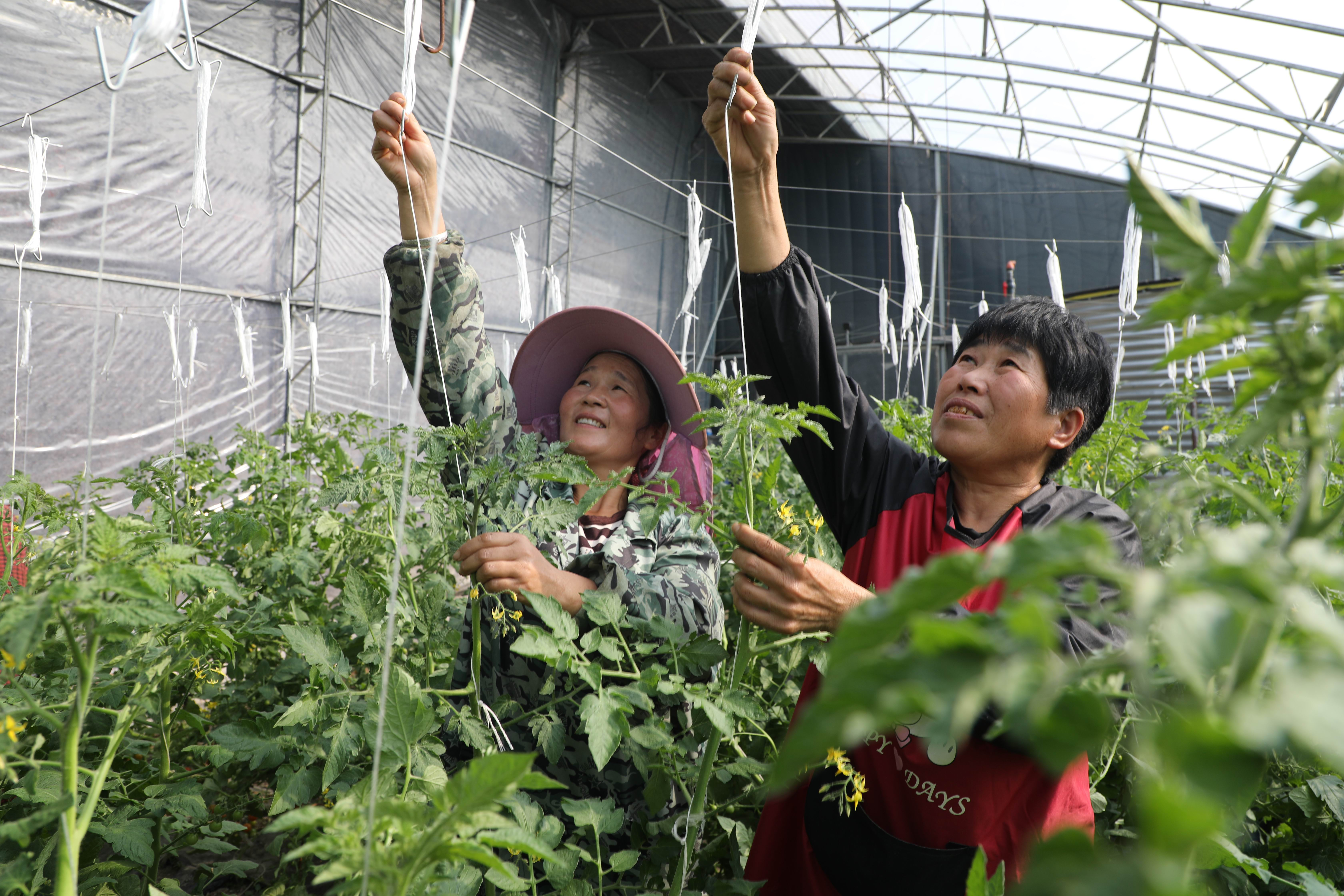 保持好一定的温度和湿度,可以延长番茄的结果期。.jpg