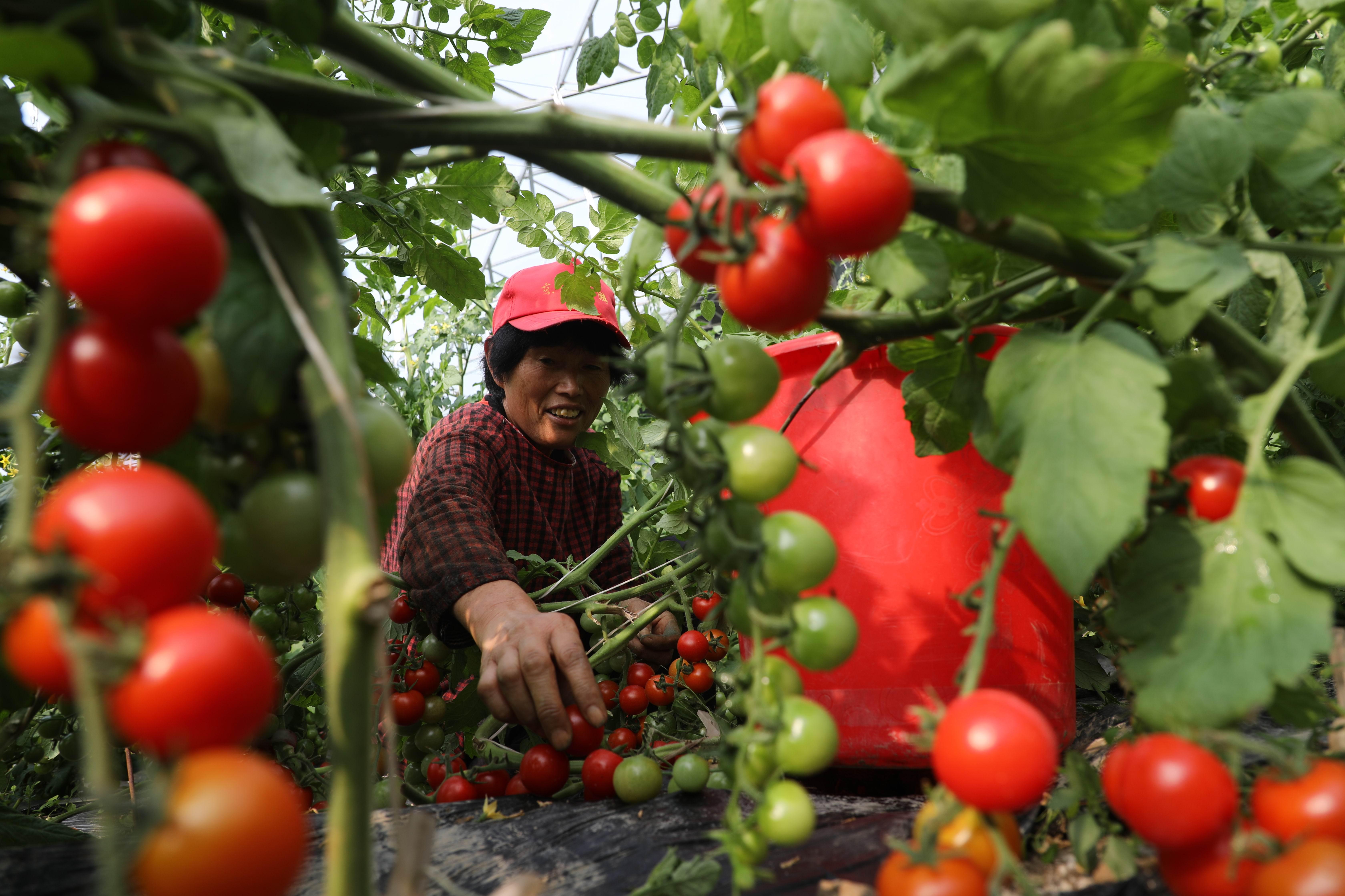 工人正在管理、采摘番茄。.jpg