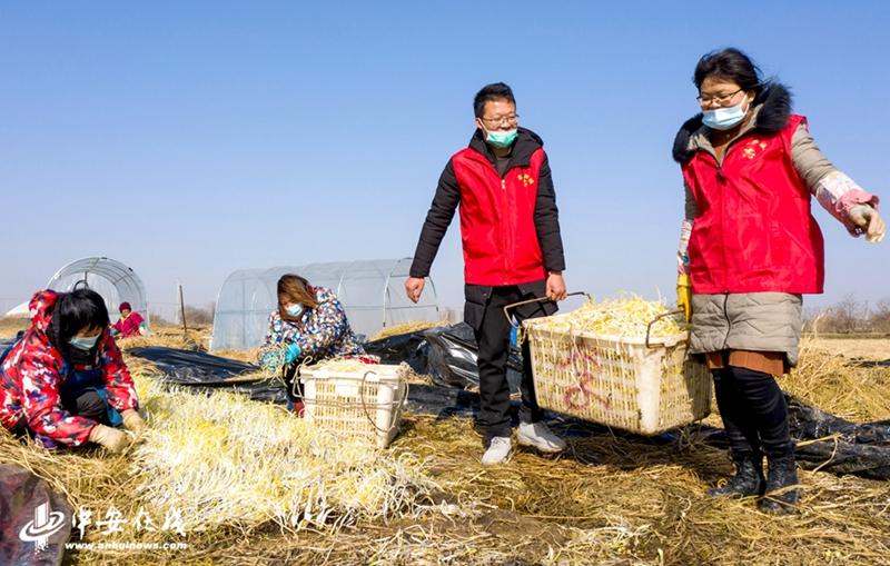 党员志愿者和菜农们正抓紧当前晴好天气抢收芹芽供应冬季蔬菜市场。 (2).jpg