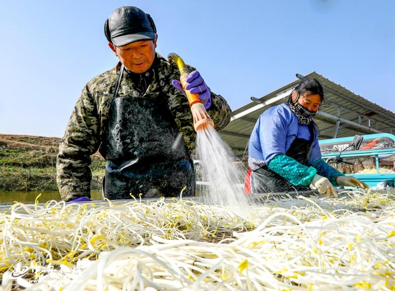 党员志愿者和菜农们正抓紧当前晴好天气抢收芹芽供应冬季蔬菜市场。 (4).jpg