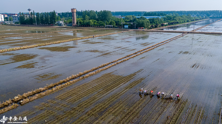 安徽庐江:全面开展水稻夏季田管,为秋粮丰收打牢基础